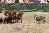 Agres, demostración de perros pastores